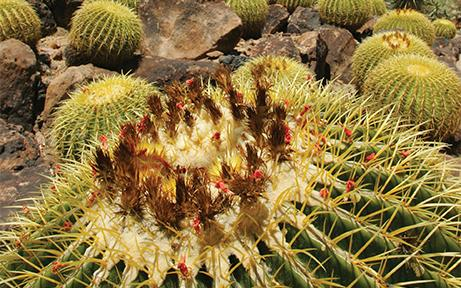 Barrel Cactus Cacti & Critters