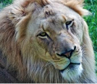 Bill the Lion at the Fort Wayne Children's Zoo