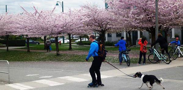 Cherry Blossoms - Seawall