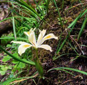 Butterscotch Iris in Cottage Grove