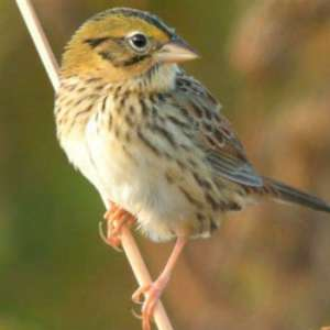 Birding Hike at Kankakee Sands