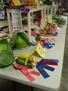 Enormous cabbages and beautiful squash are on display at the county fair.