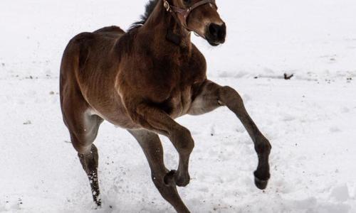 Sugar Plum Farm colt frolicking in snow