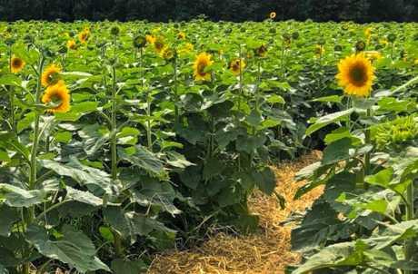 Sunflower Maze at Strawberry Fields