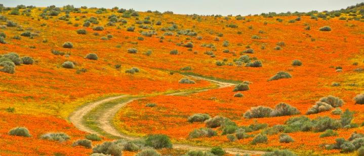 Poppy Fields Header