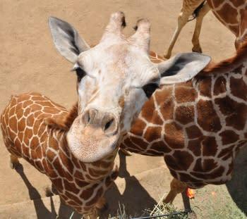 Oakland Zoo Giraffes