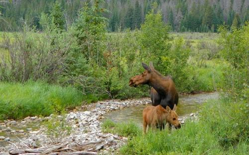 Moose Baby Calf Rocky Mountain National Park RMNP