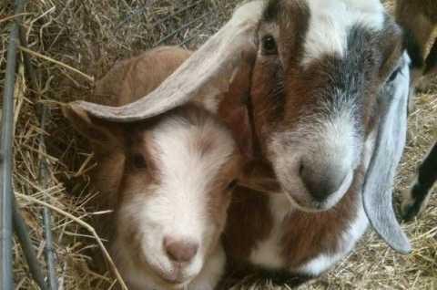 Skanda's Goats