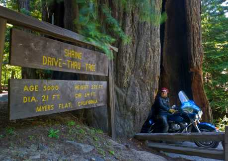 Shrine Drive Thru Tree