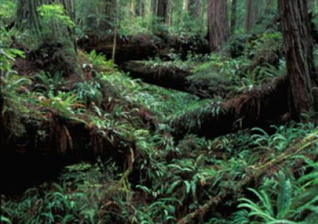 130P3Green Undergrowth in the Headwaters Forest Reserve.jpg