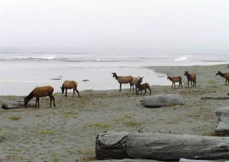 3640P3Roosevelt Elk along at Gold Bluffs Beach.jpg