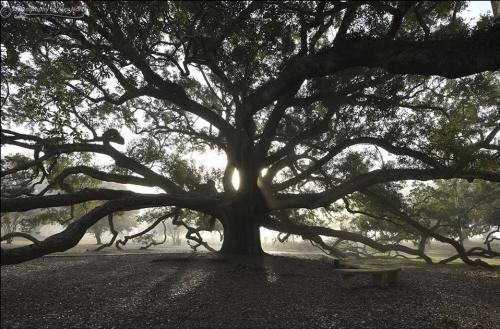 friendship oak