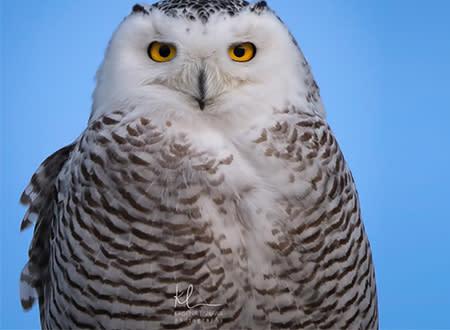 Snowy Owl Up Close