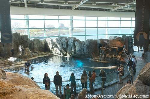 Crowd looking at Abbott Oceanarium at Shedd Aquarium in Chicago IL