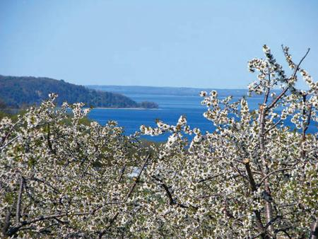 Cherry Blossoms on Old Mission Peninsula