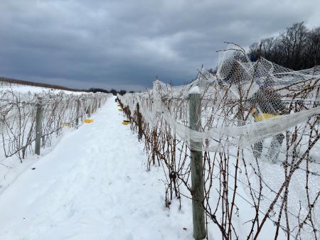 Picking Late Harvest Wine