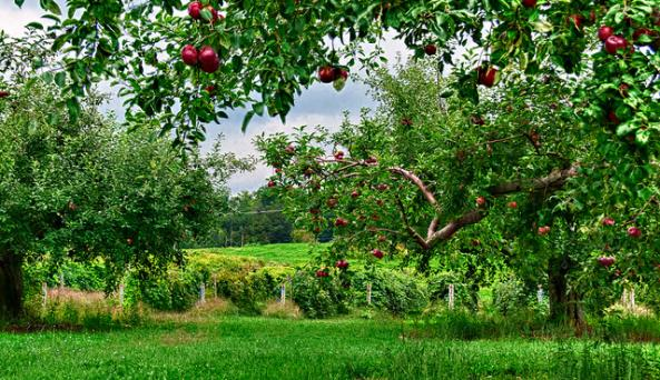 Cornell Orchards