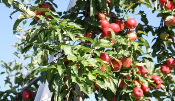 Samascott Orchards Apple Tree ladder