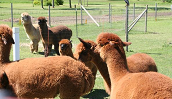 Part of their alpaca herd