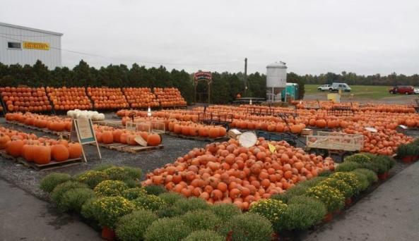 Golden Harvest pumpkin patch