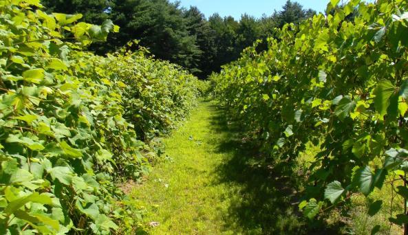 Hid-In-Pines Vineyard