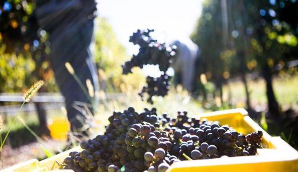 Macari Vineyards - Photo by Carl Timpone