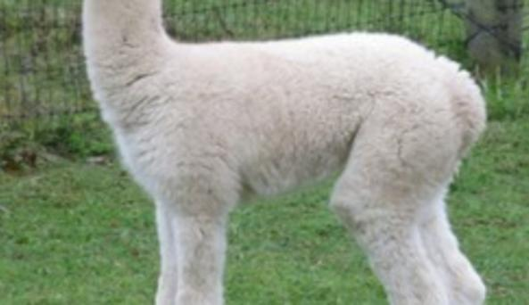 Sugartown Farms alpaca