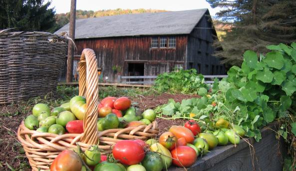 tomatos_barn.jpg