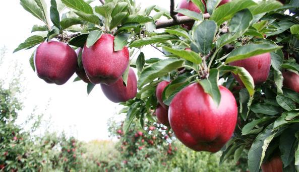 the-apple-farm-apple-closeup