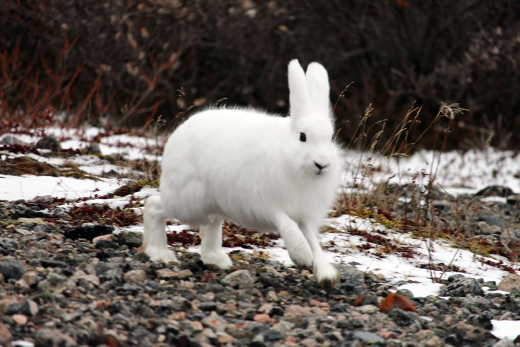 Arctic Hare in northern Manitoba