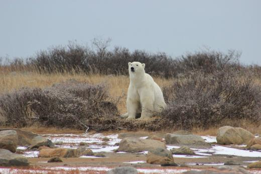 Polar Bears, Churchill Manitoba