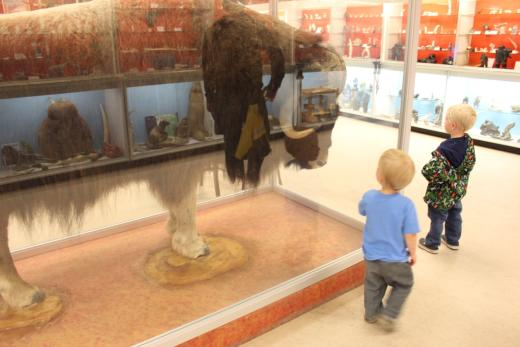 Checking out the muskox