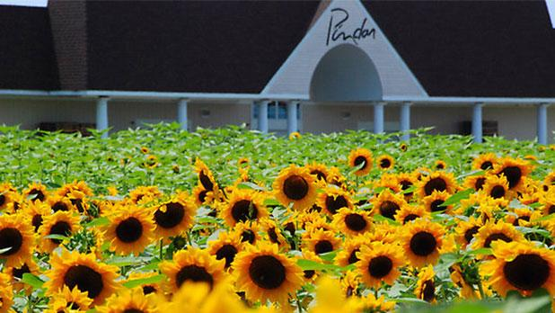 Pindar winery sunflower garden  Photo Courtesy of Pindar Vineyards