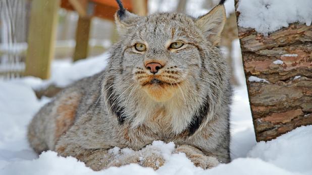 Utica Zoo- Lynx