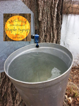 Sap from a tapped sugar maple tree at McCloud Nature Park. (Photo of tapped tree by Hendricks County Parks & Recreation Park Naturalist Sarah Wolf; McCloud Maple Syrup label created by Assistant Park Naturalist Jordan Tremper.)