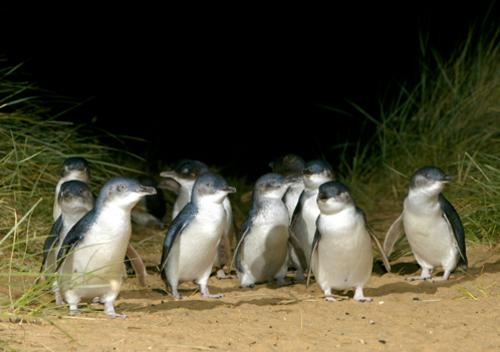 Little penguin parade