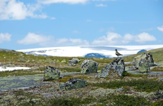 A wild bird - Heilo, in Hardangervidda national park