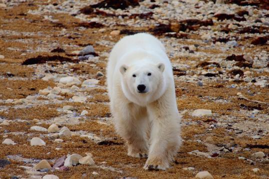 Polar Bears in the Summer in Churchill