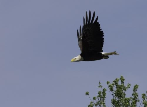 Copy of flying eagle 2