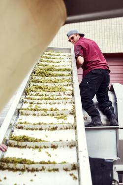 Grape crushing at Infinite Monkey Theorem winery in Denver