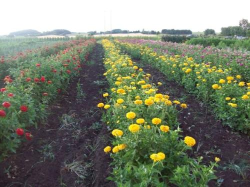 """""""The zinnias are ready for the market!"""""""