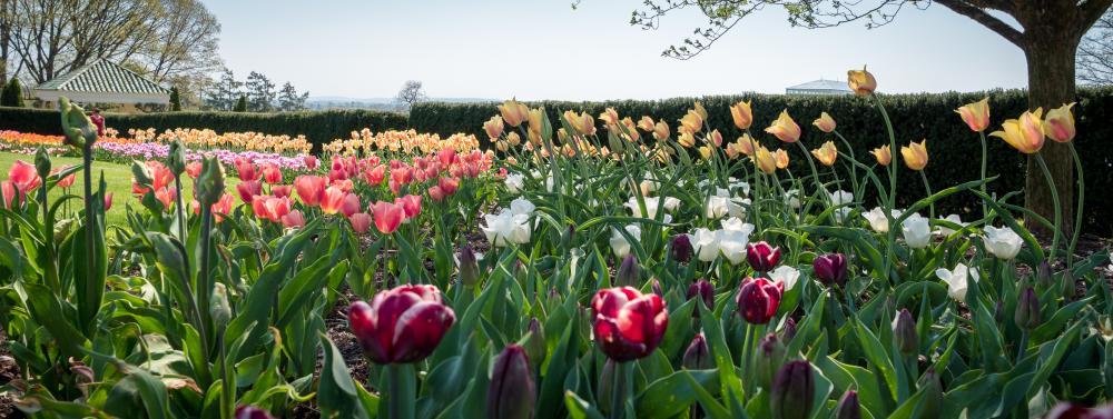 hershey-gardens-tulips-hershey-pa