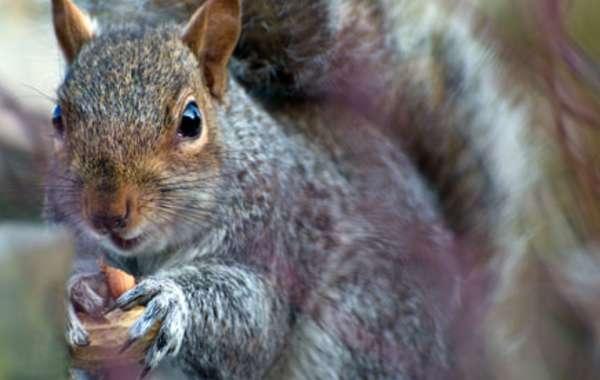 Squirrel Gravy