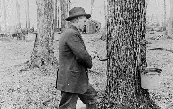 History Sandwiched In: The History of Maple Syruping in Wisconsin
