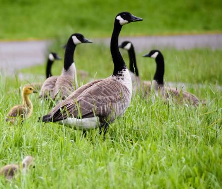 Mother goose and gosling at Northwest Trek Wildlife Park