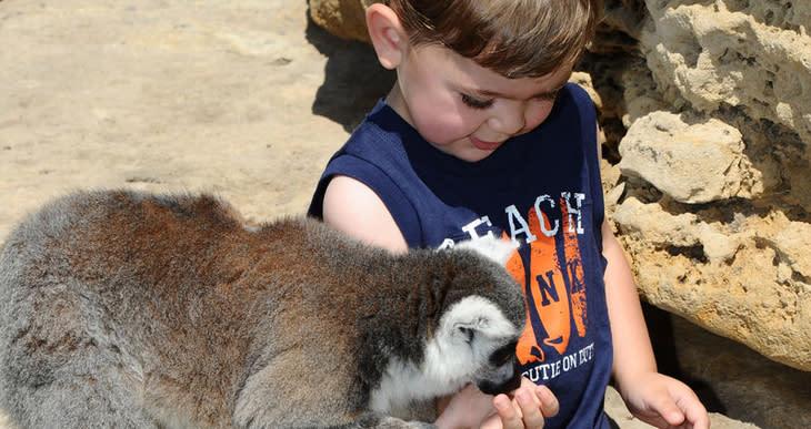 Tanganyika - Feeding Lemurs