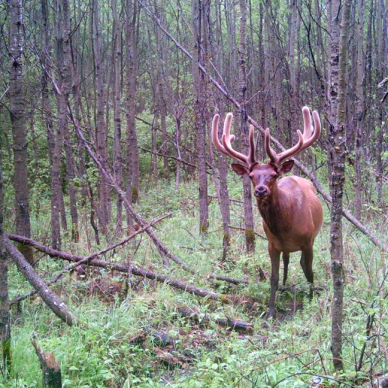 Elk in Riding Mountain National Park