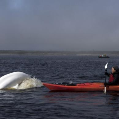Review: Coming face-to-face with the beluga whales in Hudson Bay, Canada