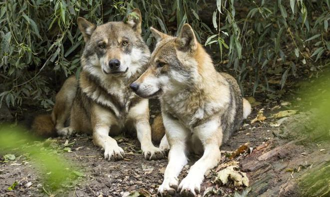 Meet the Wolves at Wolff Vineyards