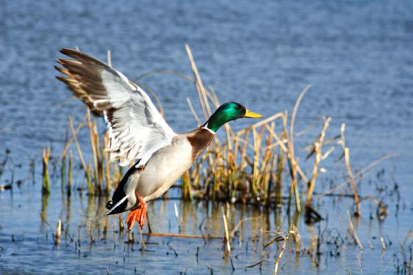 Perry Lake Duck